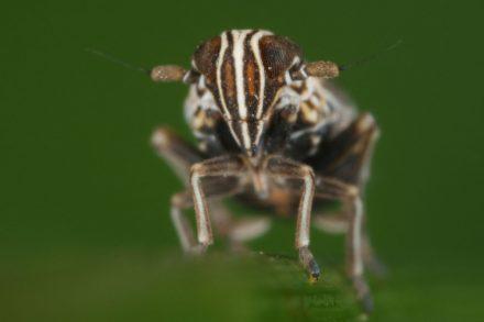 Ribautodelphax albostriata (Rispen-Spornzikade) - Foto: Dr. Gernot Kunz